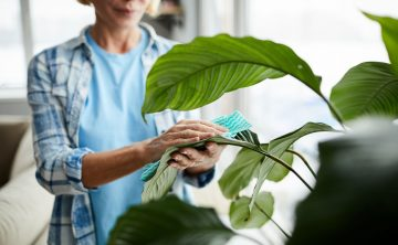 cleaning-leaves-of-houseplant-ZBW8QM7.jpg